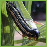 army worms