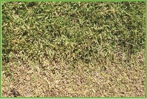 How To Repair A Scalped Lawn Harden Park Lawns